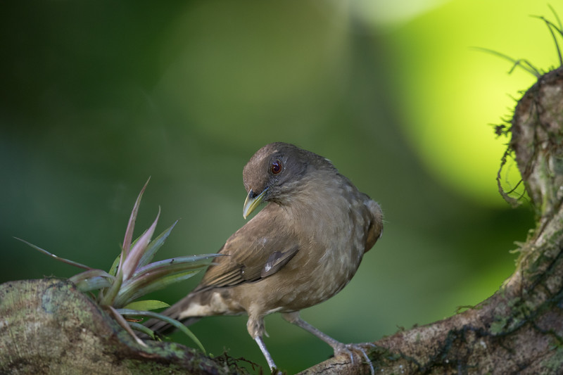 Clay-colored Robin, National bird of Costa Rica