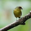 Olive-backed Euphonia