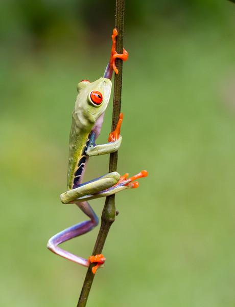 Redeye Leaf Frog