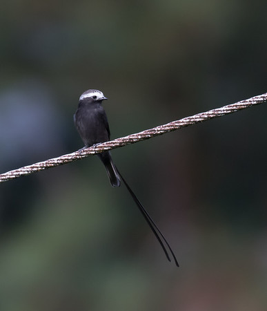 Long-tailed Tyrant Flycatcher