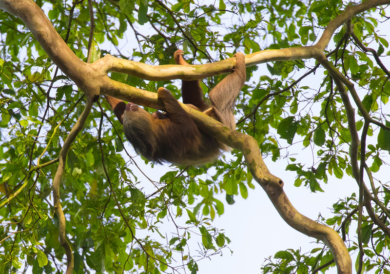 Two-toed Sloth with offspring