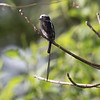 Long-tailed Tyrant Flycatcher