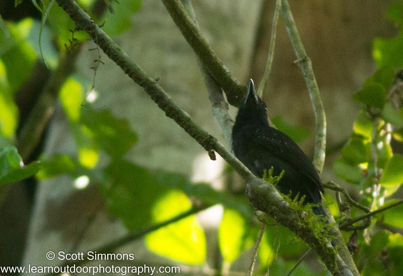 Black-hooded Antshrike
