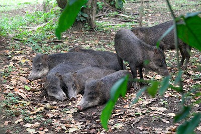 Collared Peccaries (29)-01_060-546236917-O