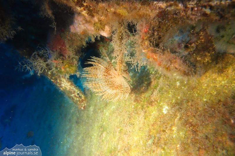 Peacock worm