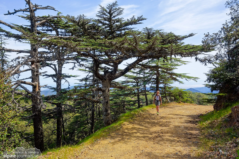 Cedar trees at the Tripylos mountain