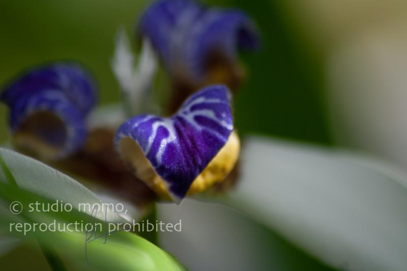 walking iris (Neomarica spp.), taken 2/25/2008, Volunteer Park Conservatory, Seattle