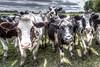 Door County, Wisconsin Cows