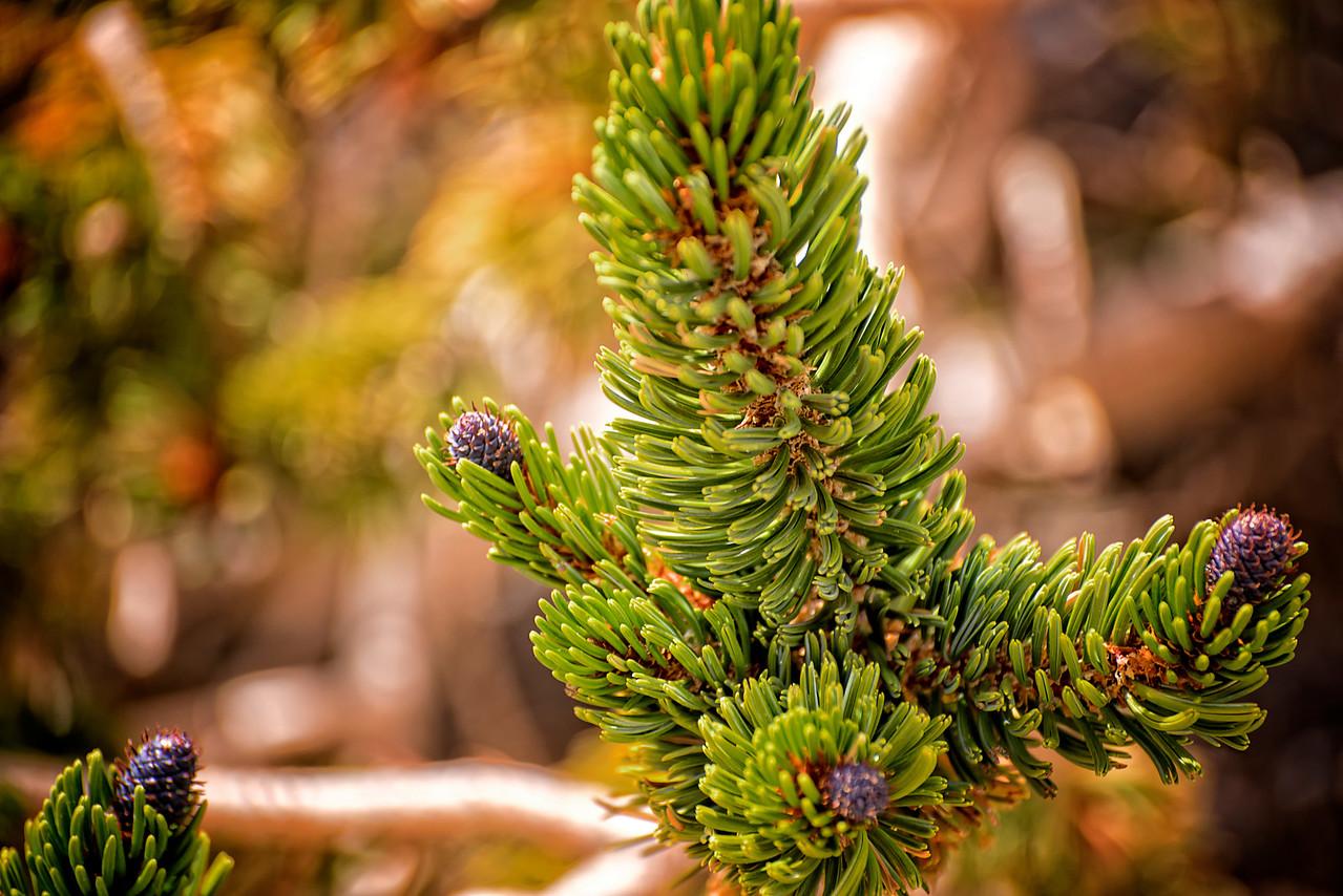 The Bristlecone Pine 2