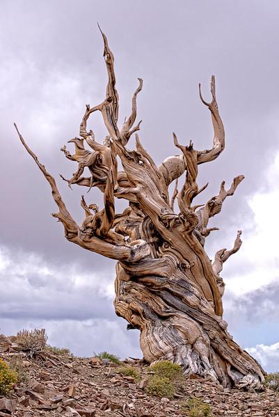 Acient Bristlecone Pine Tree 9