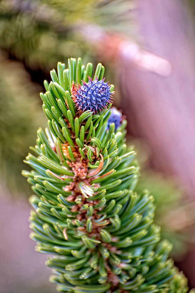 The Bristlecone Pine 4