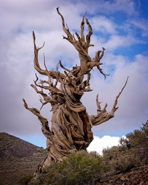 Acient Bristlecone Pine Tree 6