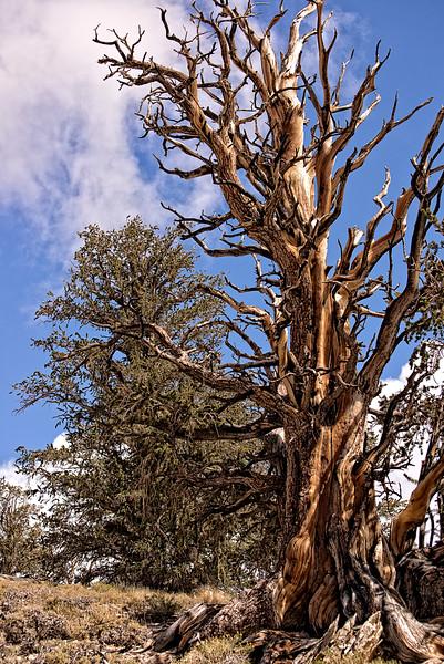 Acient Bristlecone Pine Tree 3