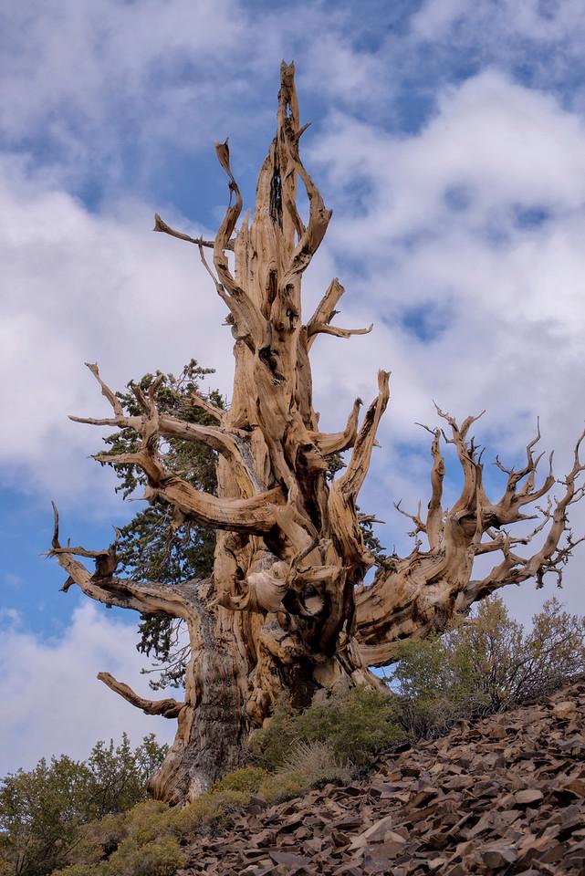 Acient Bristlecone Pine Tree 4