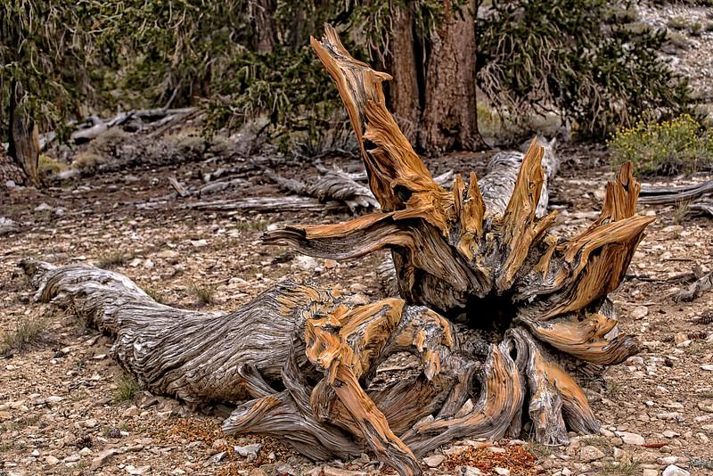 BristleCone Pine tree Sculpture