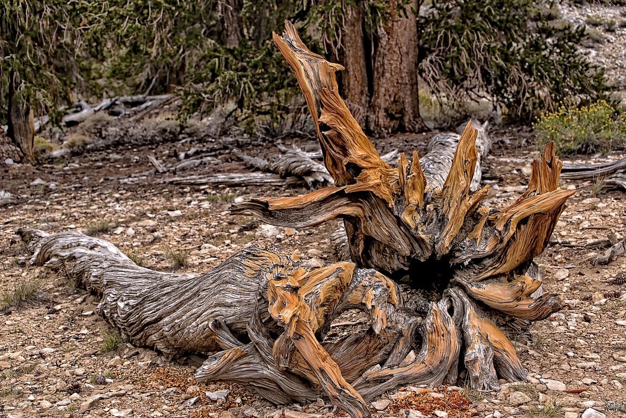BristleCone Pine tree Sculpture