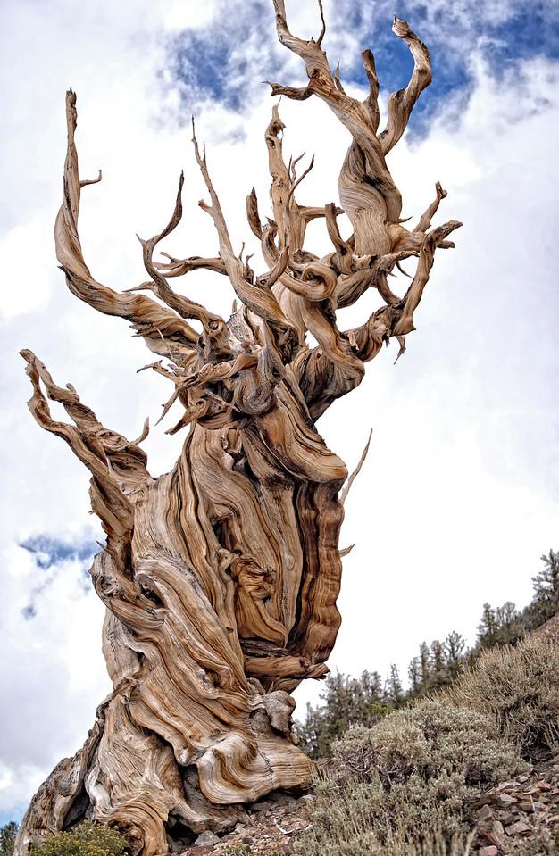 Acient Bristlecone Pine Tree 10