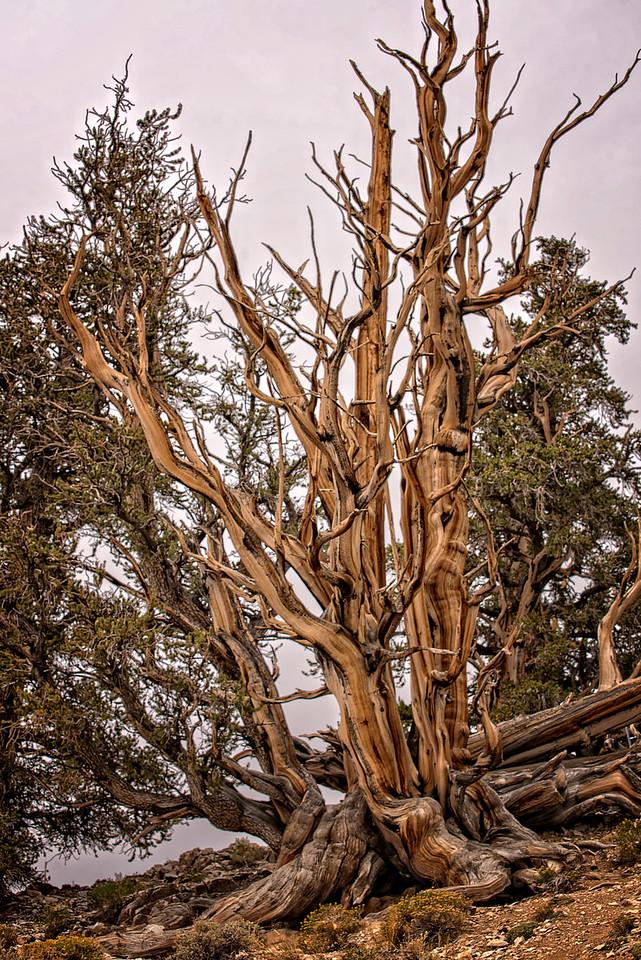 Acient Bristlecone Pine Tree 2