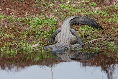 untitled20110203_Alligator MyakkaLakeFL_7I2B4648_11-02-03