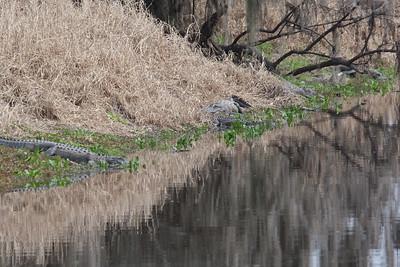 untitled20110203_Alligator MyakkaLakeFL_7I2B4628_11-02-03