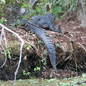 untitled20110201_Alligator CorkscrewSwampFL_7I2B3997_11-02-01