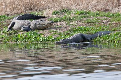 untitled20110202_Alligator MyakkaLakeFL_7I2B4380_11-02-02
