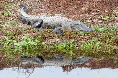 untitled20110203_Alligator MyakkaLakeFL_7I2B4646_11-02-03