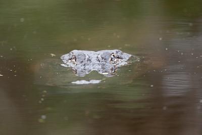 untitled20110203_Alligator MyakkaLakeFL_7I2B4490_11-02-03