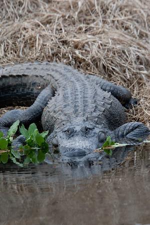untitled20110202_Alligator MyakkaLakeFL_7I2B4372_11-02-02