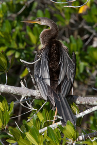 untitled20110202_Anhinga DingDarlingFL_7I2B4183_11-02-02