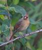 Cardinal CorkscrewSwampFL_7I2B3788_11-02-01