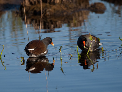CommonMoorhen LakeWoodruffFL_7I2B3421_11-01-29
