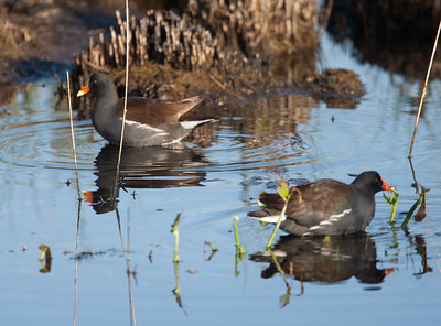 CommonMoorhen LakeWoodruffFL_7I2B3423_11-01-29