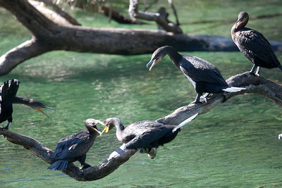 Cormorants BlueSpringsFL_7I2B3683_11-01-29