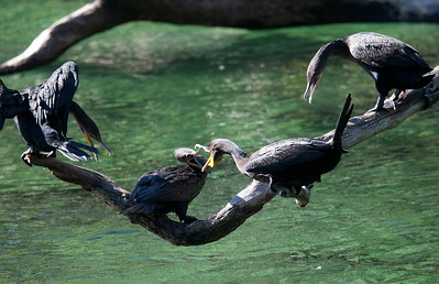 Cormorants BlueSpringsFL_7I2B3684_11-01-29