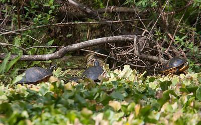 FloridaRedbelly_Turtles CorkscrewSwampFL_7I2B4004_11-02-01