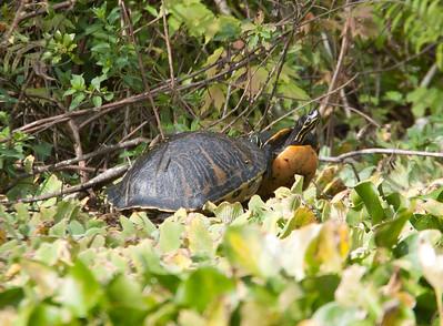 FloridaRedbelly_Turtles CorkscrewSwampFL_7I2B4002_11-02-01