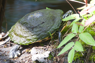 FloridaRedbelly_Turtles CorkscrewSwampFL_7I2B3992_11-02-01