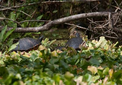 FloridaRedbelly_Turtles CorkscrewSwampFL_7I2B4005_11-02-01