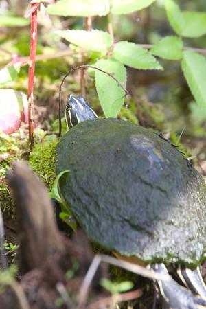 FloridaRedbelly_Turtles CorkscrewSwampFL_7I2B3991_11-02-01