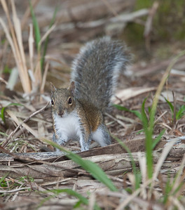 Fox_Squirrel MyakkaLakeFL_7I2B4421_11-02-03