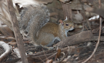 Fox_Squirrel MyakkaLakeFL_7I2B4511_11-02-03