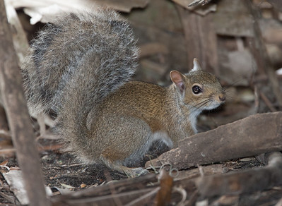 Fox_Squirrel MyakkaLakeFL_7I2B4512_11-02-03