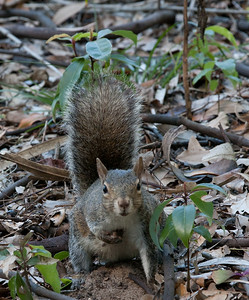Fox_Squirrel BokTowers FL_IMG_3122_11-01-30