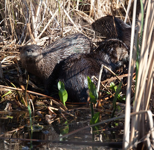 untitled20110129_RiverOtter LakeWoodruffFL_7I2B3534_11-01-29