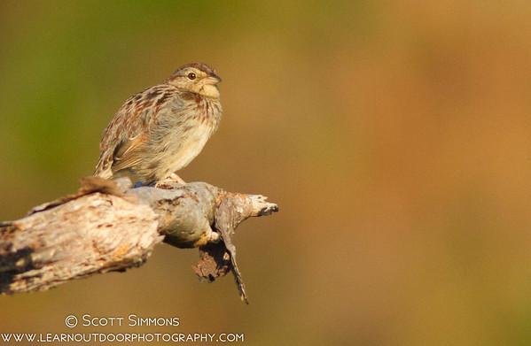 Bachman's Sparrow