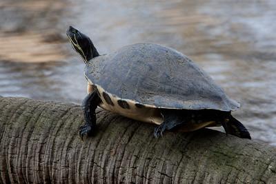 PennisulaCooter_Turtles MyakkaLakeFL_7I2B4359_11-02-02