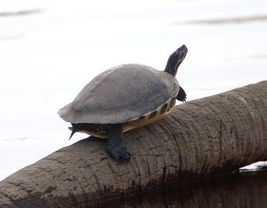 PennisulaCooter_Turtles MyakkaLakeFL_7I2B4327_11-02-02