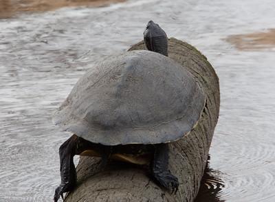 PennisulaCooter_Turtles MyakkaLakeFL_7I2B4343_11-02-02