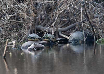PennisulaCooter_Turtles MyakkaLakeFL_7I2B4325_11-02-02